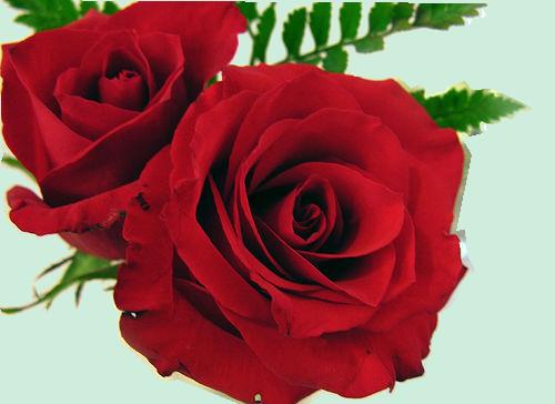 rose  tube