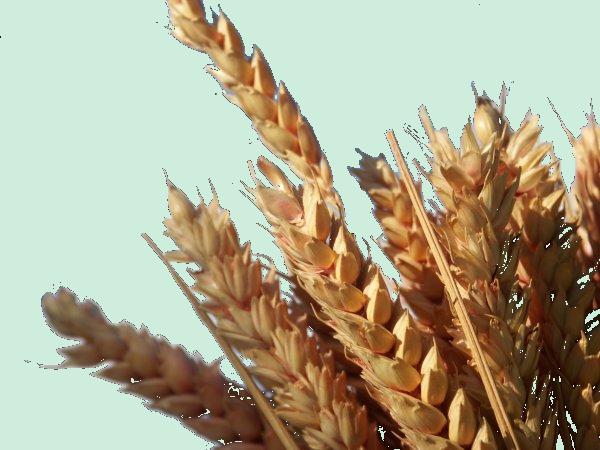 blé en branche